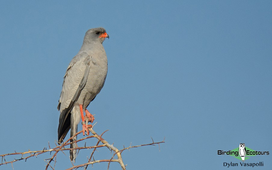 The ghost-like Pale Chanting Goshawk are photogenic subjects in the thornveld of Etosha.
