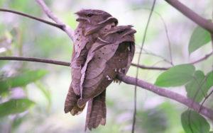 Sarawak birding tours