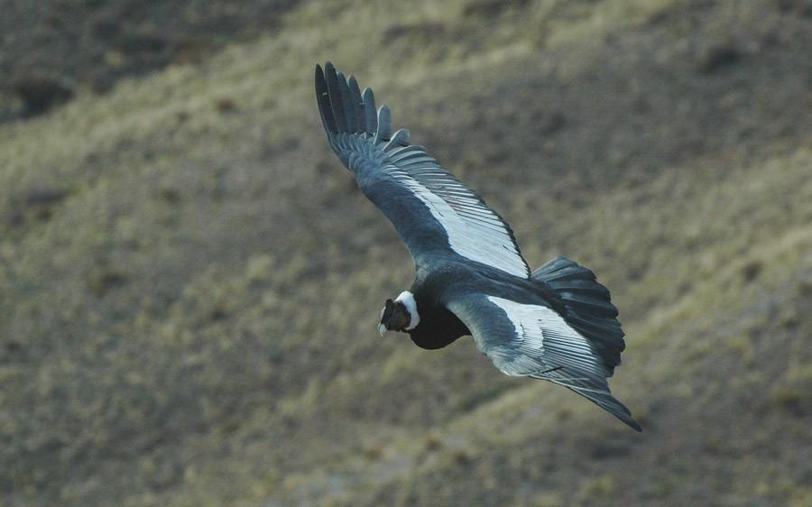 Chile birding tours