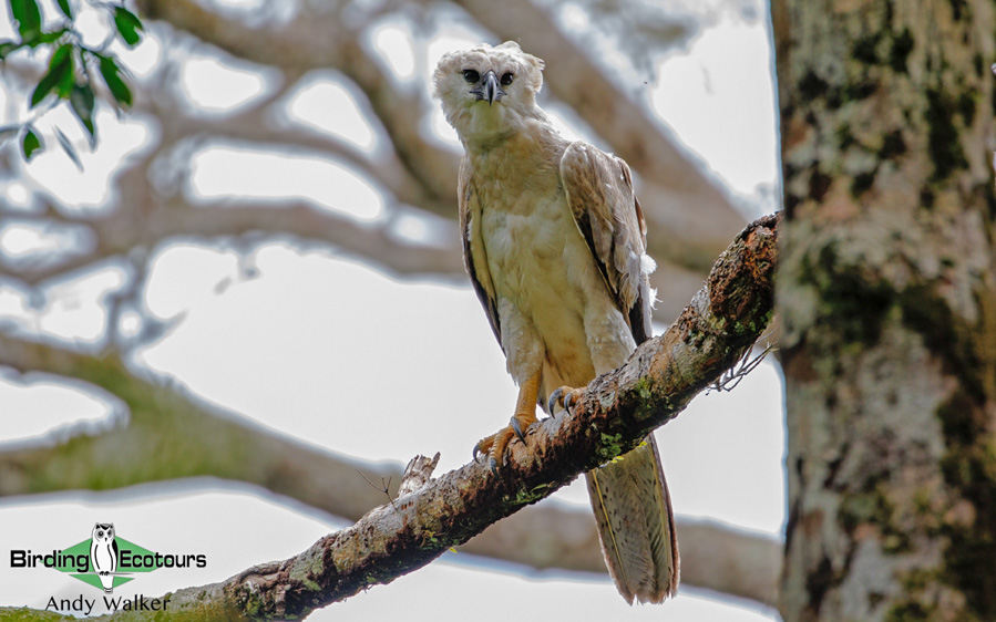 Amazon clay lick birding tours