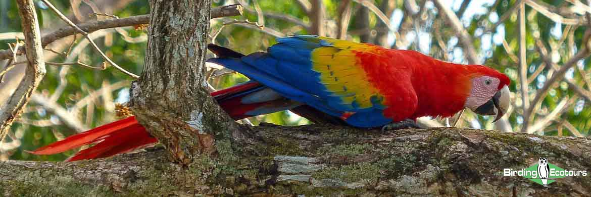 Amazon clay lick birding tours