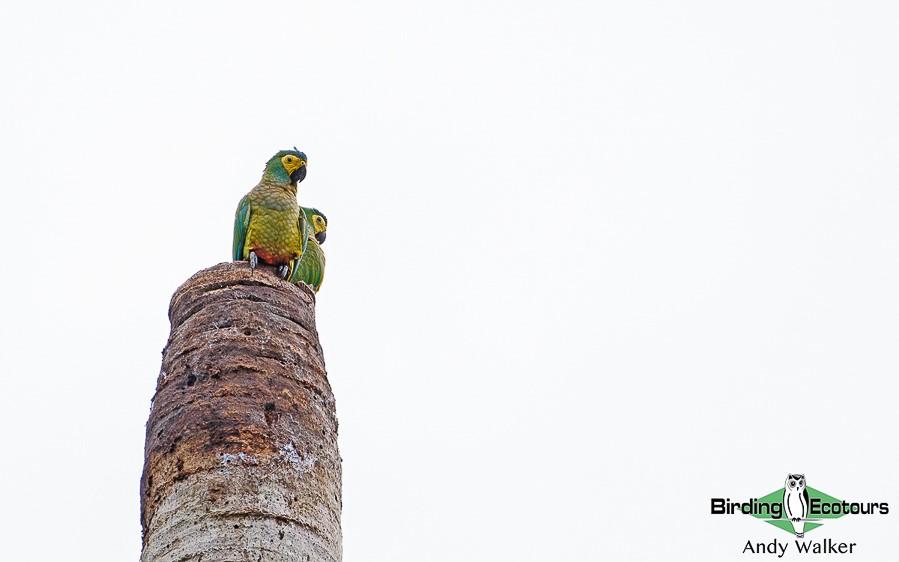 South Peru birding tours