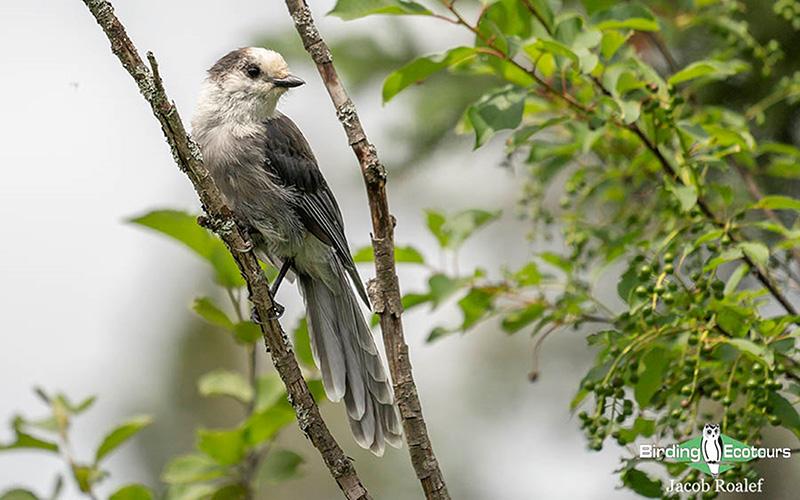 Alaska birding tour