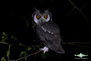 Owls of southern Africa