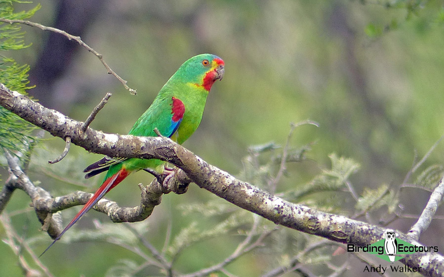 Australia birding