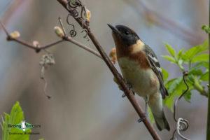 North American birding tours