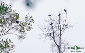 Sulawesi birding adventure