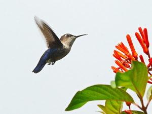 Cuban birding tours