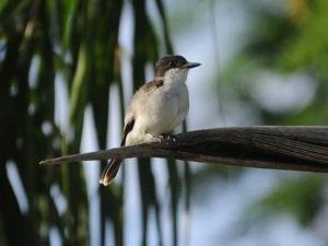 Jamaican birding tours