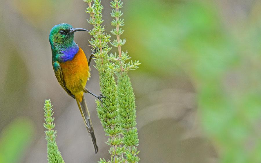 Cape Town IOCongress birding tours