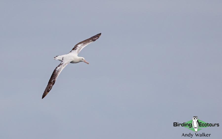 Australasian birding tours