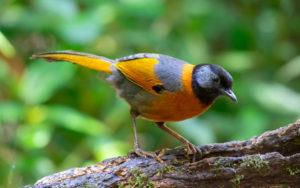 Vietnam birding tours