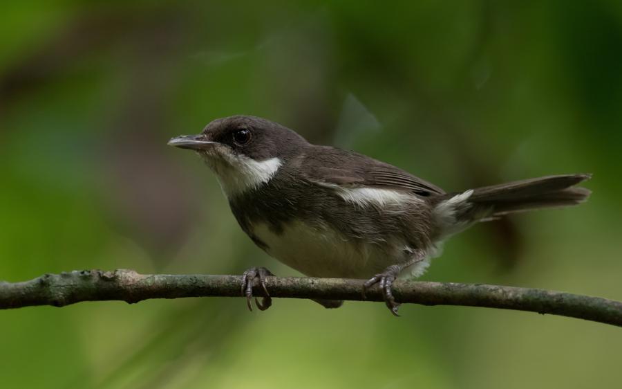 Sao Tome and Principe birding tours