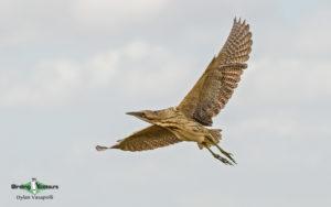 Sweden birding tours