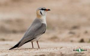 Gabon birding tours
