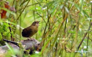 Malaysia birding tours