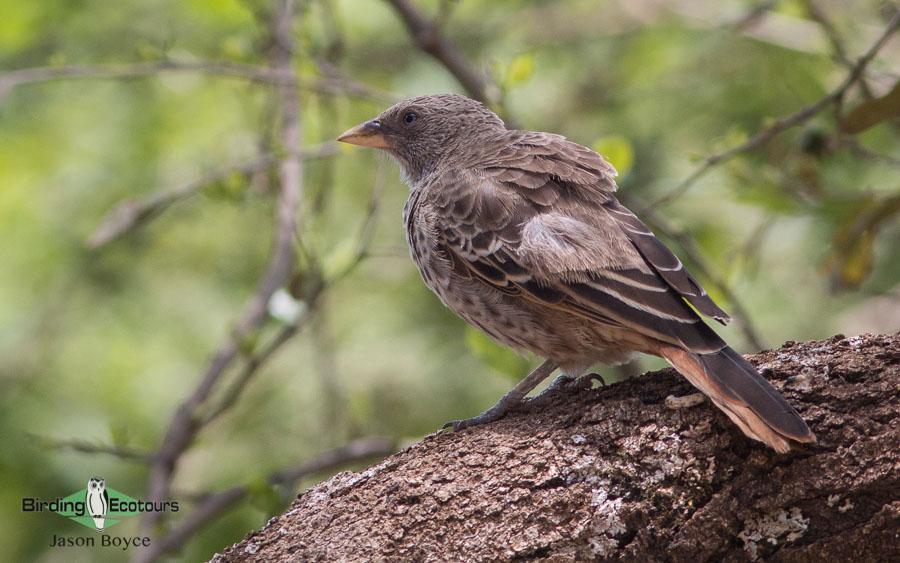 Tanzania birding tours