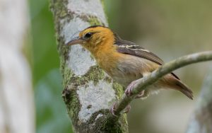 Sao Tome and Principe birding tours