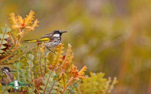 Australian birding tours