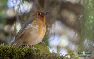 Uganda birding tours