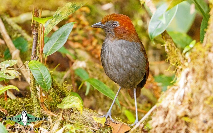 Medellin and Bogota birding tours