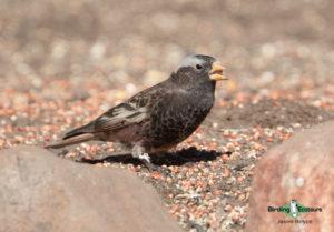 North American birding galleries