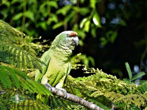 Guyana birding
