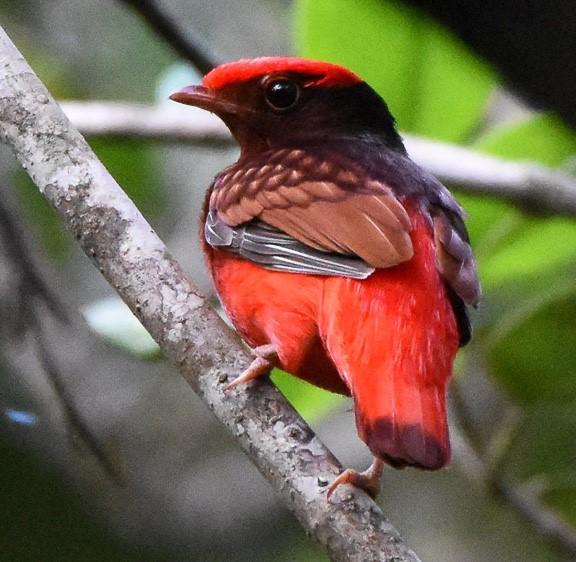 Guyana birding tours