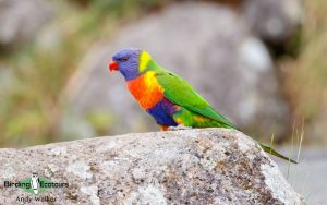 Australasia birding galleries