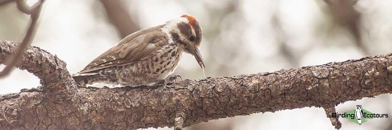 Southeast Arizona birding tours
