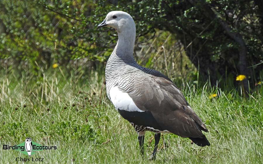 Puerto Madryn and Valdés Peninsula birding tour