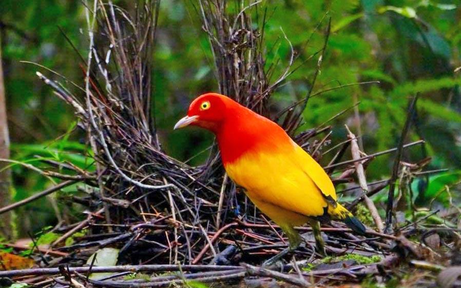 Papua New Guinea birding tours