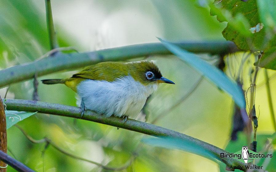 Halmahera birding adventure