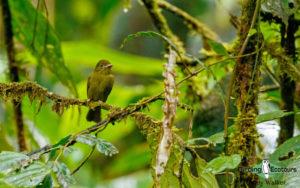 Best of Panama birding tours