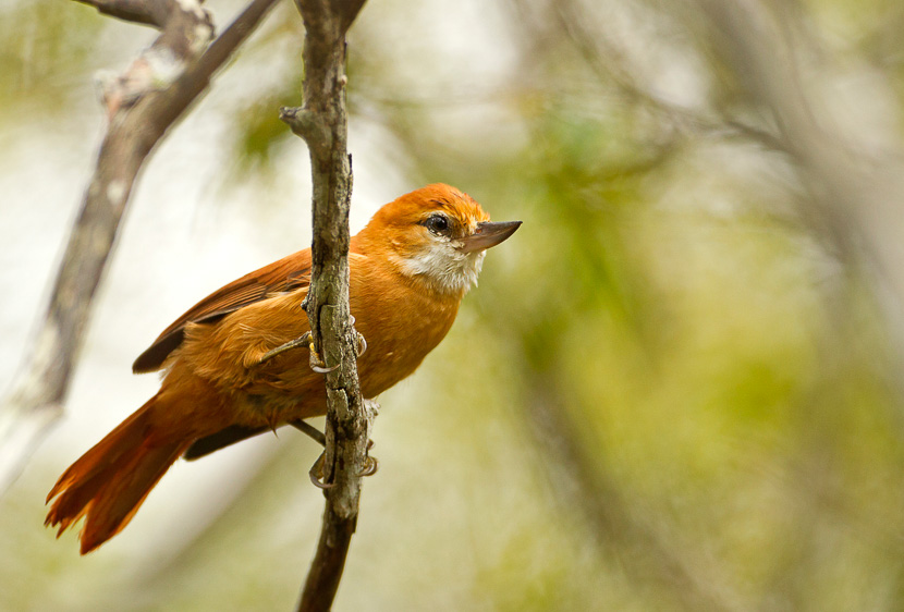 Northeastern Brazil birding tours