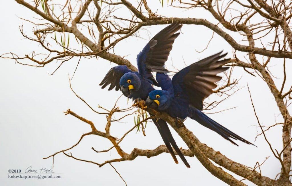 Best of Brazil birding tours