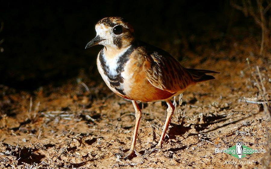 Alice Springs birding tours