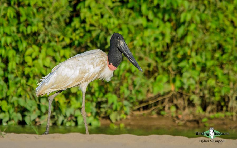 Best of Brazil birding tour