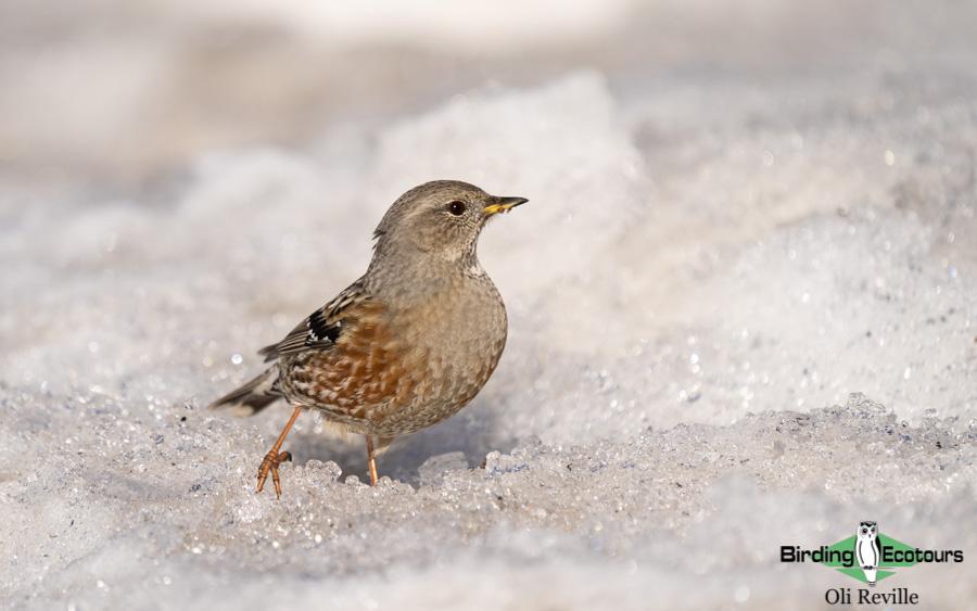 Poland birding tours