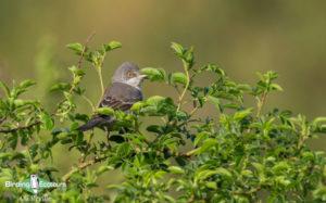 Lesvos birding tours