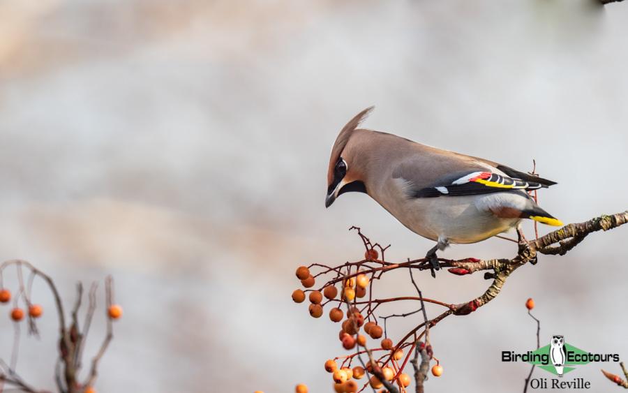 Finland birding tours