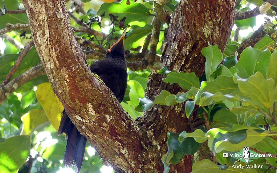 New Caledonia birding tours