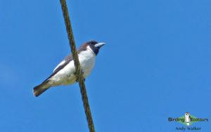 Fiji birding tours