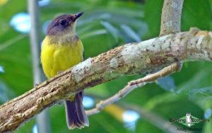 Samoa birding tours