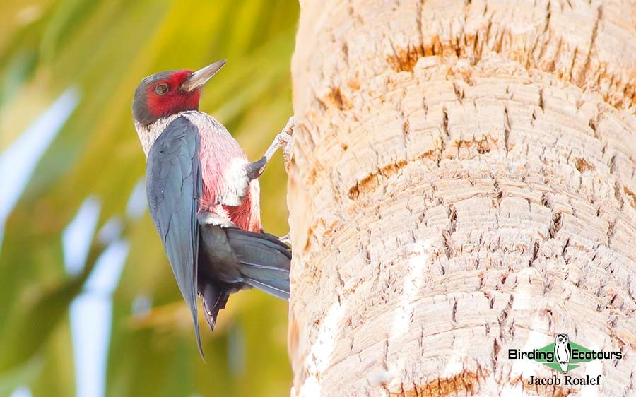 Woodpeckers of America