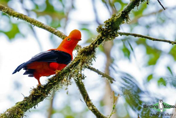 Northern Ecuador birding