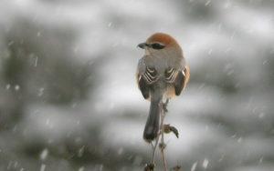 Japan birding tours