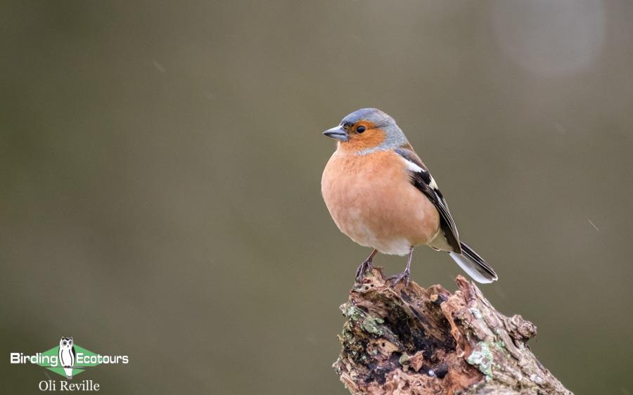 common UK garden birds