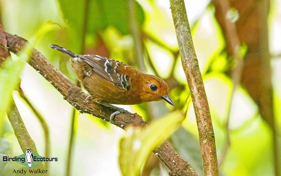 amazonian-ecuador-birding