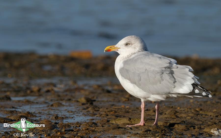 common UK wetland birds